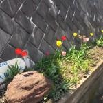 花壇のチューリプも満開の1週間でした。